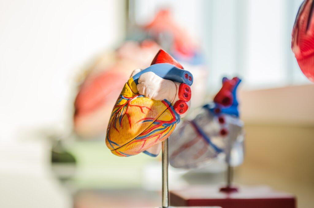 エネルギーを必要とする臓器のイメージ