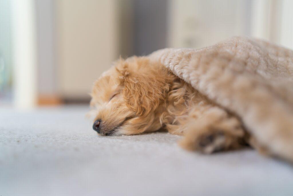 睡眠時間が6時間以下ということが原因で太ってしまった犬のイメージ
